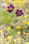 Anemone pulsatilla subsp. bogenhardtiana (Rchb.) Rouy & Foucaud