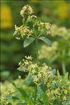 Rubia peregrina L. subsp. peregrina