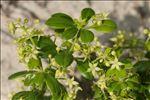 Rubia peregrina subsp. longifolia (Poir.) O.Bolòs