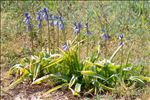Photo 13/13 Hyacinthoides non-scripta (L.) Chouard ex Rothm.