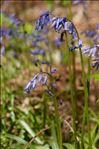 Photo 6/13 Hyacinthoides non-scripta (L.) Chouard ex Rothm.