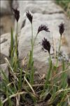 Sesleria caerulea (L.) Ard. subsp. caerulea