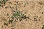 Artemisia campestris L.