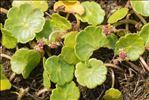 Hydrocotyle vulgaris L.