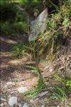 Carduus defloratus L.