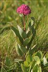 Hylotelephium telephium (L.) H.Ohba