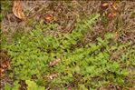 Photo 6/6 Hypericum elodes L.