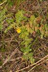 Hypericum elodes L.