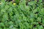 Photo 4/6 Hypericum elodes L.