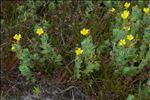 Photo 1/6 Hypericum elodes L.