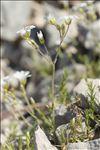 Cerastium arvense subsp. suffruticosum (L.) Ces.
