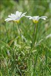 Cerastium arvense subsp. strictum Gaudin