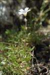 Photo 1/1 Cerastium arvense subsp. strictum Gaudin