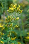Photo 4/5 Hypericum hirsutum L.