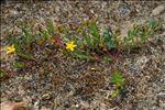 Hypericum humifusum L.