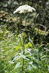 Laserpitium latifolium L. subsp. latifolium