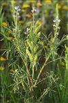 Photo 1/1 Lupinus angustifolius L. subsp. angustifolius