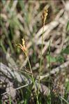 Carex ornithopoda Willd. subsp. ornithopoda