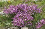 Photo 1/4 Epilobium dodonaei subsp. fleischeri (Hochst.) Schinz & Thell.