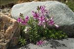 Photo 2/4 Epilobium dodonaei Vill.