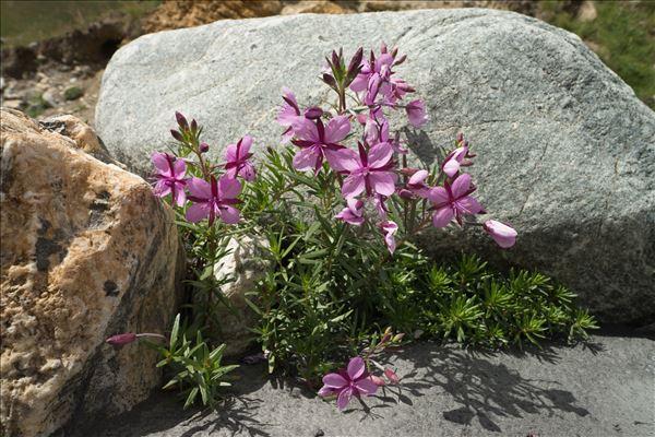 Epilobium dodonaei subsp. fleischeri (Hochst.) Schinz & Thell.