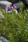 Photo 3/4 Epilobium dodonaei Vill.