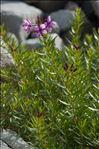 Photo 3/4 Epilobium dodonaei subsp. fleischeri (Hochst.) Schinz & Thell.
