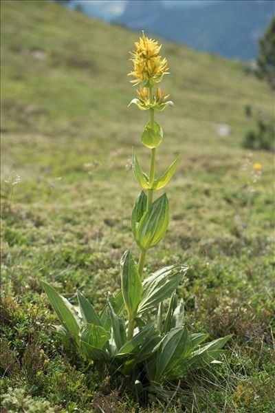 Gentiana lutea L. subsp. lutea