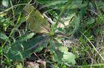 Photo 7/7 Hypochaeris maculata L.