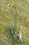 Hypochaeris maculata L.