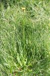 Photo 3/7 Hypochaeris maculata L.