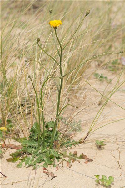 Hypochaeris radicata subsp. ericetorum Soest