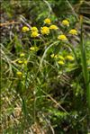 Photo 2/4 Bupleurum ranunculoides L.