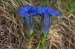 Gentiana clusii subsp. costei Braun-Blanq.