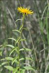 Photo 3/5 Inula salicina L.