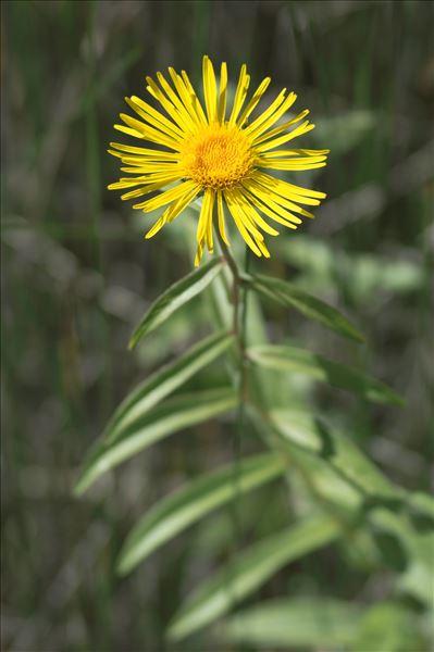 Inula salicina L.