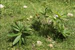 Helleborus viridis subsp. occidentalis (Reut.) Schiffn.