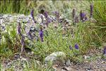 Photo 2/2 Hyssopus officinalis L. subsp. officinalis