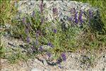Hyssopus officinalis L. subsp. officinalis