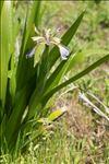 Iris foetidissima L.