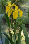 Photo 1/3 Iris pseudacorus L.