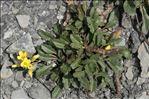Brassica repanda (Willd.) DC. subsp. repanda