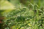 Photo 1/10 Jacobaea adonidifolia (Loisel.) Pelser & Veldkamp