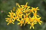 Photo 6/10 Jacobaea adonidifolia (Loisel.) Pelser & Veldkamp