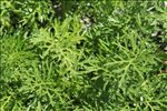 Photo 1/2 Jacobaea adonidifolia (Loisel.) Pelser & Veldkamp