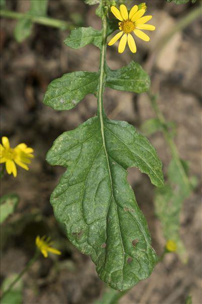 Jacobaea aquatica (Hill) G.Gaertn., B.Mey. & Scherb.