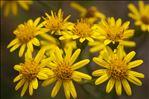 Jacobaea erucifolia (L.) G.Gaertn., B.Mey. & Scherb.