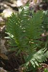 Photo 1/1 Polypodium cambricum L.