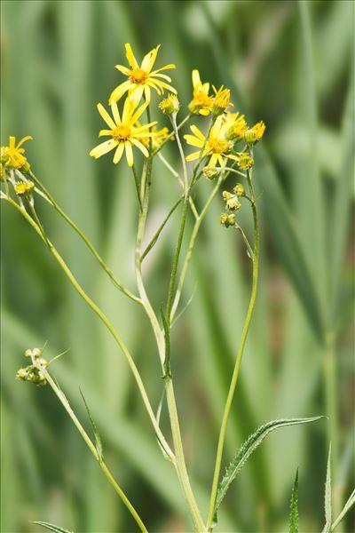 Jacobaea paludosa (L.) G.Gaertn., B.Mey. & Scherb.
