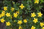 Photo 2/7 Jasminum fruticans L.